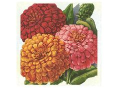 Giants of California - Zinnia-  Very large, 4-5-inch double flowers. This California heirloom dates back to 1919. The plants bloom all season and make superb cut flowers. This mix contains cherry, orange, pink, purple, scarlet, yellow and white.
