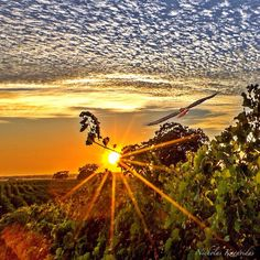 Clouds & Sun & Vines & Red Tail Hawks always make for a memorable moment. Wine Country Sunrise-Sunset No.185.#sky_sultans  #sunset_vision #sunsets_oftheworld #sundaysupper #super_photosunsets #sonomavalleywine #clouds_of_our_world #bns_family #collection_sky #visitnapavalley #earthboundshots #fotocatchers #great_captures_nature #howisummer #ig_serenity #ig_week_sunsets #ig_sunrisesunset #instanaturefriends #jj_skylove #kings_transport #loves_landscape #sonomavalleywine #nature_sultans…
