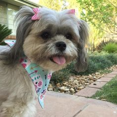 Happy #TongueOutTuesday from Midge the Maltese and Shihtzu mix!