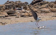 Keep of our nesting area  Himantopus himantopus Recurvirostra