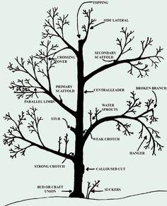 Gardening Info-Graphic: How to Prune Fruit Trees