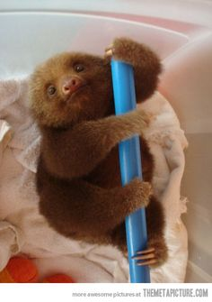 Adorable sloth of the day.
