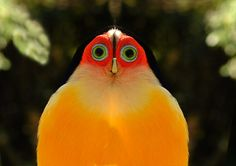 Coloruja -- yes apparently this is a real bird and it is absolutely amazingly ridiculous