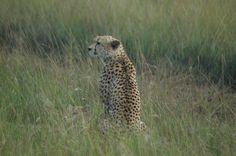 Os safaris fotográficos acontecem normalmente duas vezes ao dia. Pela manhã, bem cedo, a temperatura mais fria e agradável estimula os animais à caça. É o melhor momento para tentarmos boas fotos e…