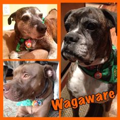 Adorable WagSquad Alert!!!! Lookie, Lookie! Our WagAware Charms arrived! We love them, thank you! ~ Cleo, P.D. & Thor Whitfield