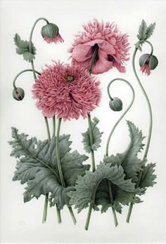 Poppy, Pastel Pink Peony, Date Unknown