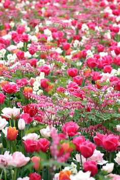 A Spectacular Spring Border Idea with Tulips, Daffodils & Bleeding Hearts! Tulips Garden, Daffodils, Video Rosa, Beautiful Flowers Wallpapers, Tulip Bulbs, First Day Of Spring, Happy Spring, Flower Wallpaper, Spring Garden