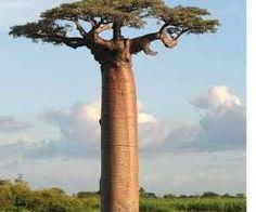 Risultati immagini per baobab albero