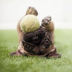 play ball Pinterest: @divinewanderer2. #pugs