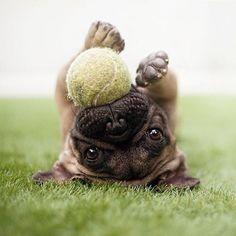 pug ball