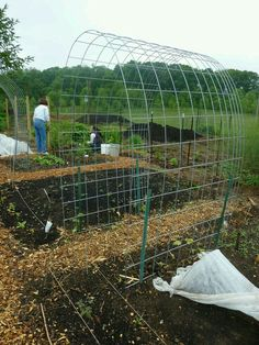 use Cattle Panels bent into an arch for inexpensive climbing trellis Verwenden Sie Rinderpaneele, di Pea Trellis, Wire Trellis, Tomato Trellis, Trellis Fence, Cucumber Trellis, Garden Trellis, Trellis Ideas, Privacy Trellis, Clematis Trellis