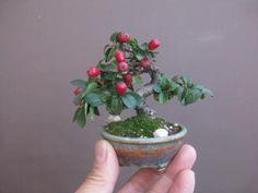 Succulent Bonsai, Bonsai Plants, Bonsai Garden, Mame Bonsai, Ikebana, Indoor Garden, Garden Art, Bonsai Tree Care, Bonsai Trees