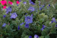 Blue My Mind Morning Glory (Evolvulus 'USEVO1201') at GardenWorks