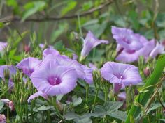 Wild Purple Morning Glory (Ipomoea cordatotriloba) morning glory seeds over 20 SEEDS Morning Glory Flowers, Bts Tattoos, Dried Lemon, All Notes, Dried Oranges, Lavender Flowers, How To Make Wreaths, Wildflowers, Herbalism
