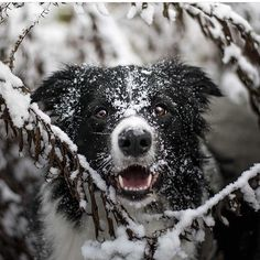 @nicobcc love the winter themed photo. Thanks for sharing the photo with us!  Everyone there a few hours left to submit your best #bordercollie winter or holiday themed photo (landscape/horizontal) for a chance to be featured as our #Facebook cover photo (see bio for link-post pinned to top of page) #dog #pet #dogphotoshoot #winter #snow #outdoorphotography #dogoftheday #weeklyfluff