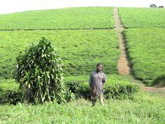 Retki päiväntasaajan tuntumassa, teeviljelmiä Ugandassa.