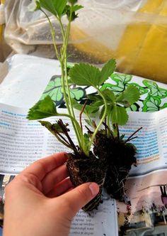 Como semear morangos. Cultivar morangos é muito fácil e nos permitirá desfrutar de frutos bem mais saborosos do que os que podemos comprar em qualquer estabelecimento. Se você dispõe de uma horta ou um jardim suficientemen... Buxus, Garden Plants, Strawberry, Food, Gardening, Strawberry Planting, Strawberry Plant, Organic Gardening, Gardening Tips