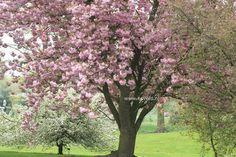 Prunus Serrulata | Dubbele Japanse sierkers opvallend donkere bloemen. De hoogte na 10 ...