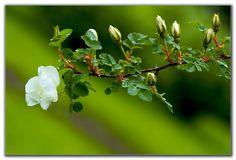 juhannusruusu - Rosa pimpinellifolia 'Plena'