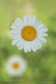 A daisy day -