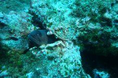 Faune marine à Cap Croisette, à l'est de Marseille: murène. On compte environ 200 espèces réparties dans 16 genres. La plus grande espèce, la murèn…