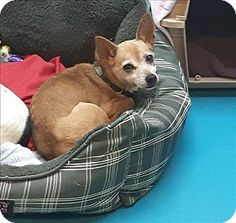 Vancouver, BC - Chihuahua Mix. Meet Dd 78 Lange, a dog for adoption. http://www.adoptapet.com/pet/17241099-vancouver-british-columbia-chihuahua-mix