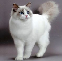someday I will have a Ragdoll, or a Norwegian Forest cat, or another Maine Coon.....I really miss my Maine Coon :(