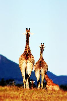 What a cute picture of our Giraffe mom & baby