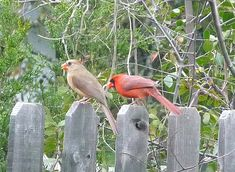 The NC General Assembly of 1943 named the cardinal (cardinalis cardinalis) as the official State Bird of North Carolina (Session Laws, 1943, c. 595). ^cs