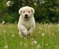 dogs can have allergy - Did you know Itchy Dog? Allergies May Be the Culprit! - If you notice your dog scratching more than usual, it could be fleas, but Child Friendly Dogs, Friendly Dog Breeds, Dogs Golden Retriever, Labrador Retriever, Best Dogs For Kids, Itchy Dog, Cats And Cucumbers, Fluffy Puppies, Best Dog Breeds
