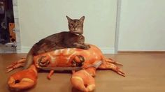 A new toy for my cat #crab #cat #toy