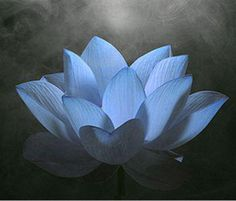 A natural euphoria and mind expanding experience Pure Egyptian Nymphaea Caerulea: Blue Egyptian lotus lily extract Nymphaea . Nymphaea Lotus, Fashion Illustration Dresses, Blue Lotus, Most Beautiful Flowers, Pretty Pictures, Blue Flowers, Egyptian, Lily, Pure Products