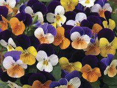 Penny Series Violas