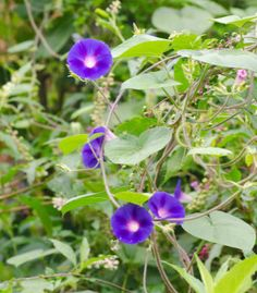 Campainha (Ipomoea purpurea)