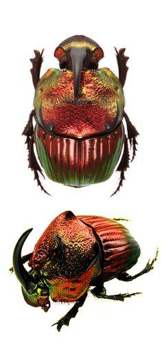 phanaeus mexicanus red form