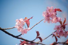 Cherry blossoms by LudwigSpove