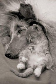 Collie & Kitten Hugging
