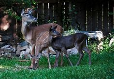 Photos of the rare Melanistic Black White-tailed Deer Fawn - 6 photos.