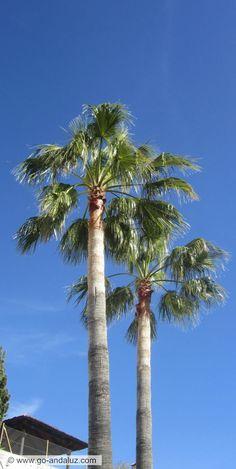 Our washingtonia twin palms.