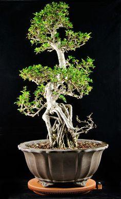 Large Flowering Fukien Tea Bonsai Tree Carmona Microphylla 4777   eBay