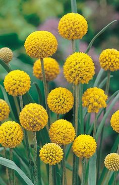 Craspedia Billy Buttons flowers can be easily grown from seeds. Also commonly known as Drumsticks, Craspedia Globosa is a unique and exotic looking perennial native to Australia and New Zealand. Australian Wildflowers, Australian Native Flowers, Australian Plants, Cut Flower Garden, Flower Farm, Australian Native Garden, Wildflower Seeds, My Secret Garden, Mellow Yellow