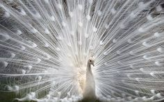 30 Beautiful Peacock Photos and White Peacock Pictures | Read full article: http://webneel.com/peacock-photos-white | more http://webneel.com/photography | Follow us www.pinterest.com/webneel