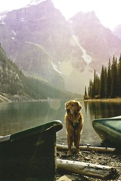 I know that lake. In Lake Louise. with a golden retriever. my life is complete. Adventure Is Out There, Adventure Time, Adventure Travel, Nature Adventure, Golden Retrievers, Mundo Animal, Tier Fotos, Mans Best Friend, Trekking