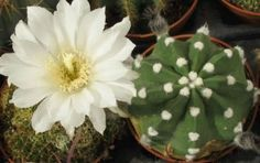 Echinopsis subdenudata - Easter Lily kaktus