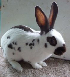 English Spot | ENGLISH SPOT RABBITS | Birmingham, West Midlands | Pets4Homes