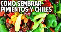 Cosas del Jardin: Como germinar semillas de chile, pimiento, morron - paso a…