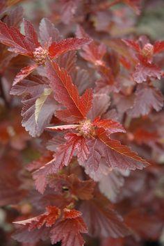 "Center Glow Ninebark    Physocarpus opulifolius ""Center Glow"""