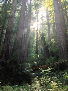 Redwoods. So breath taking. One of my favorite places to be!
