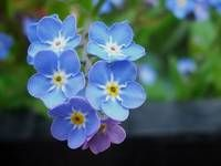 Safe - Forget-Me-Not