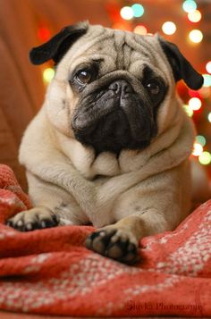 Christmas Pug Puppy Holiday Dogs Puppies Dogs